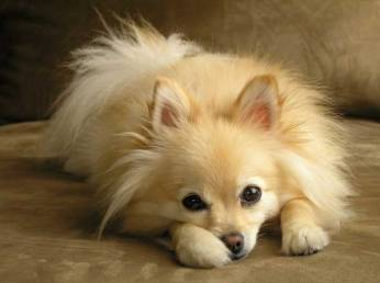 Pomeranian-Dog-Picture